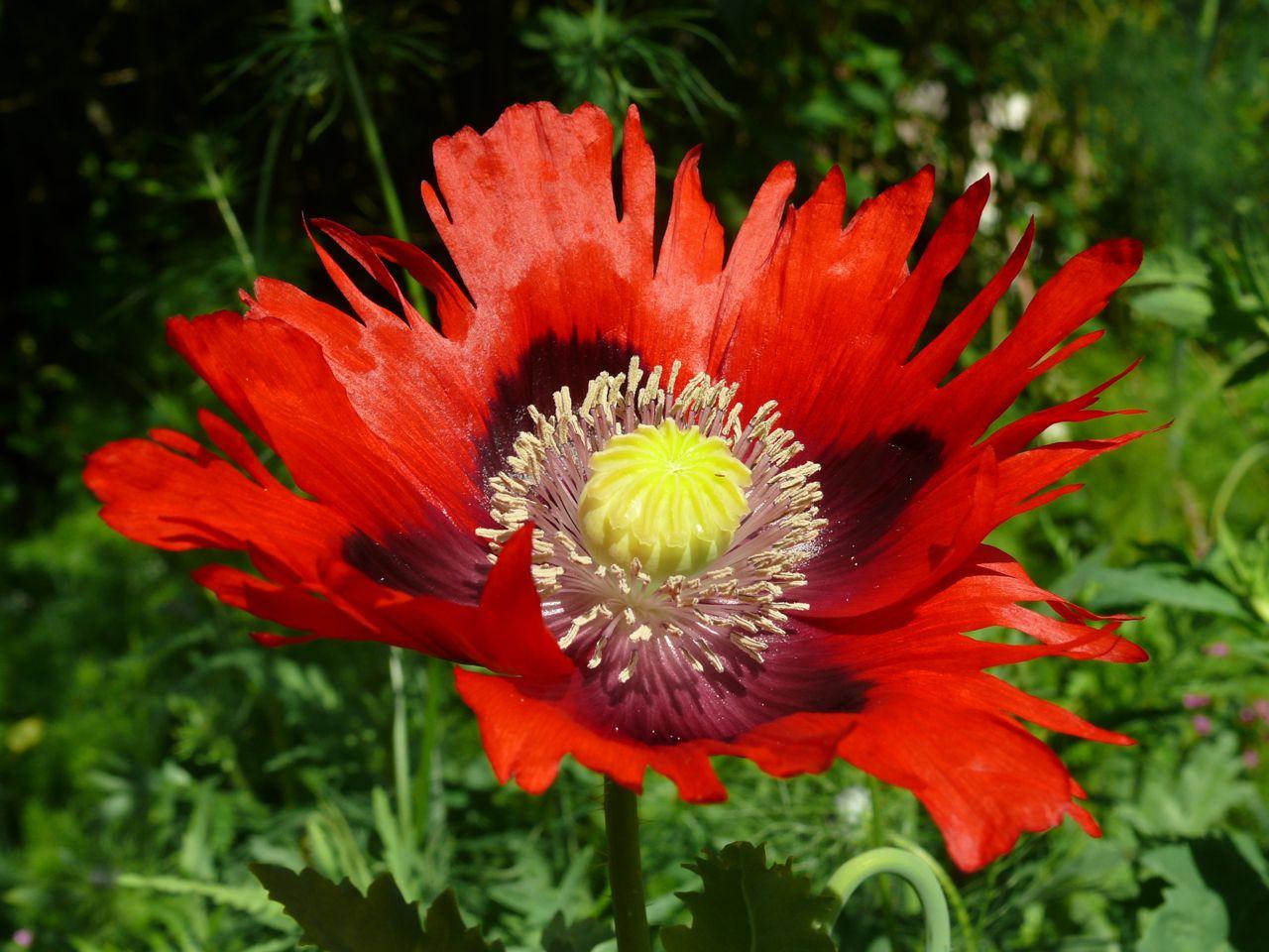 Opium Poppy Flower Dra...